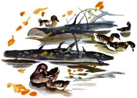 утки в пруду