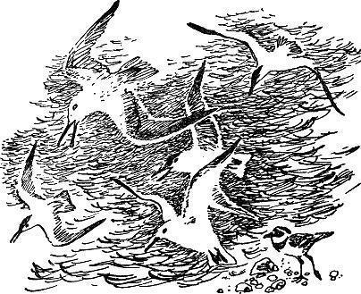 Почему чайки белые