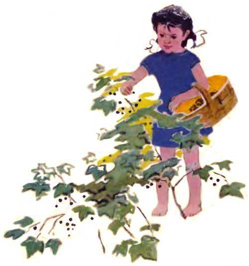 девочка Танюша собирает смородину в лукошко